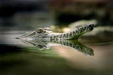 Fresh Water Crocodile Stock Photos