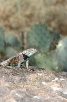 Free Yellow-Backed Spiny Lizard Stock Images - 3989954