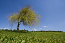 Free Landscape - Lonely Tree Royalty Free Stock Photography - 3989977