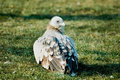 Free A Eagle Squatting On The Green Grass Land Stock Photography - 3990102