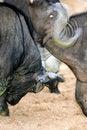 Free Cape Buffalo Stock Photography - 3991142