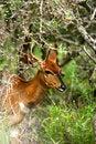 Free African Nyala Stock Image - 3991771