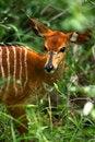 Free African Nyala Royalty Free Stock Photos - 3991818