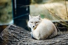 White Fox In A Crouch Pose With  Vigilant Eyes Royalty Free Stock Photos