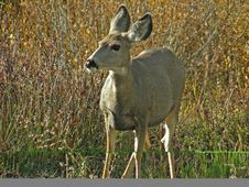 Free Mule Deer Stock Photography - 3990162
