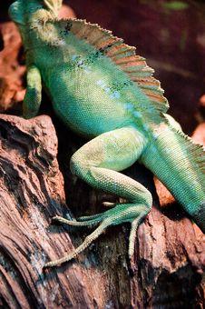 Free Lizard Stock Photo - 3990170