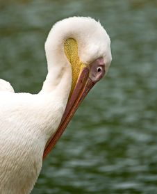 Free Pelican Stock Photos - 3990193