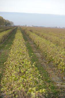 Napa Vineyard Stock Image