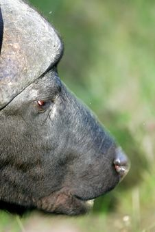 Free Cape Buffalo Royalty Free Stock Images - 3991089
