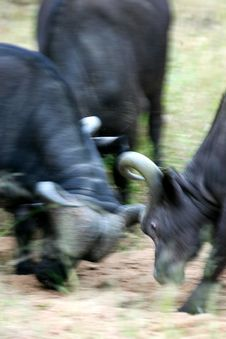 Free Cape Buffalo Stock Photography - 3991112