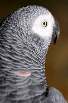 Free African Grey Parrot Royalty Free Stock Photography - 3991167