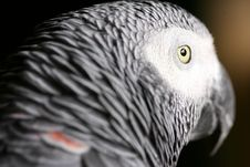 Free African Grey Parrot Stock Photos - 3991183