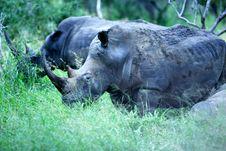 Free White Rhinoeros Stock Image - 3991761