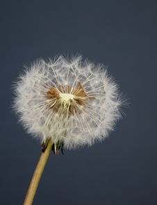 Free Dandelion Seedhead Stock Images - 3992224