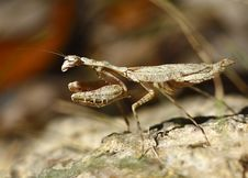 Free Close Up Of A Grizzled Mantis Stock Image - 3992631