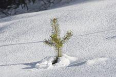 Free Little Pine Tree Royalty Free Stock Photos - 3993148