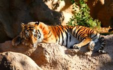 Free Sleeping Tiger Stock Photography - 3994382