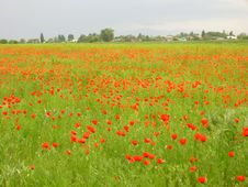 Free Poppy Meadow Stock Image - 3995941