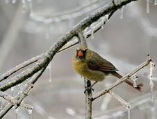 Free Female Cardinal Royalty Free Stock Photos - 3996008