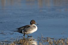 Pintail Duck On Ice Royalty Free Stock Photo
