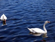 Free Swans Royalty Free Stock Images - 40959