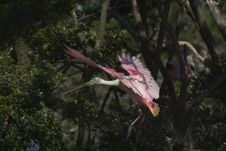 Free Roseate Spoonbill In Flight Stock Photography - 43392