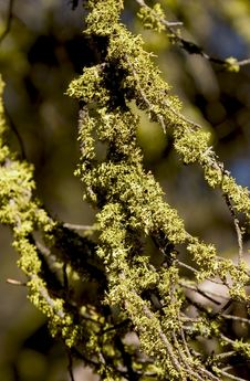 Free Branches Covered In Moss Royalty Free Stock Photos - 45248