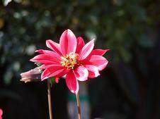 Free Pink Flower Royalty Free Stock Image - 45876
