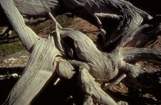 Free Gnarled Tree Stock Photography - 46422