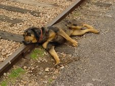 Free Dog On Tracks Royalty Free Stock Images - 47609