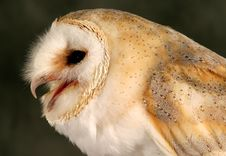 Free Barn Owl Royalty Free Stock Photos - 48368