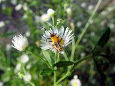 Free Flowering Bug Royalty Free Stock Image - 49036