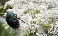 Free Rose Chafer Royalty Free Stock Photography - 403637
