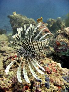 Free Exotic Lionfish Stock Image - 400411