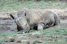 Free Relaxing Rhino. Royalty Free Stock Images - 401729
