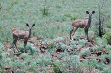 Free Young Kudus. Stock Photo - 401730