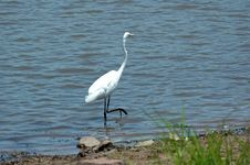 Free Great White Egret. Stock Photography - 401732
