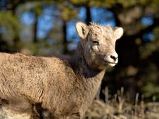 Free Baby Bighorn Sheep Royalty Free Stock Image - 404066
