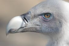 Free Vulture Closeup Royalty Free Stock Photos - 404738