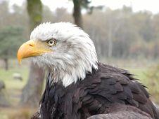 Free Bald Eagle Stock Image - 405161