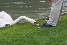 Free Dangerous Swan Stock Photos - 406313