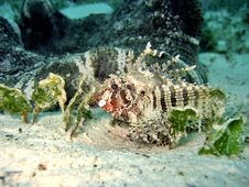 Free Dwarf Lionfish Stock Photos - 407203
