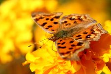 Free Golden Butterfly Royalty Free Stock Images - 407209
