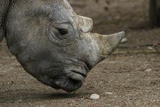 Free Rhino (diceros Bicornis) Stock Image - 407361
