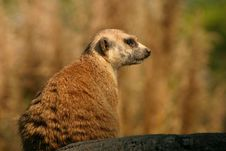 Free Meerkat Stock Photography - 407552