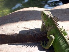Free Aruban Iguana Stock Photos - 408063