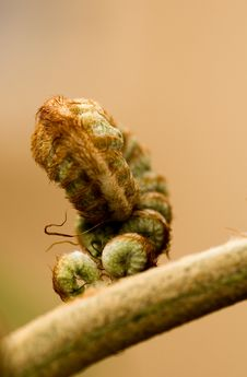 Free Curled Up Fern Royalty Free Stock Photography - 409237