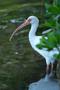 Free White Ibis Royalty Free Stock Images - 4004919