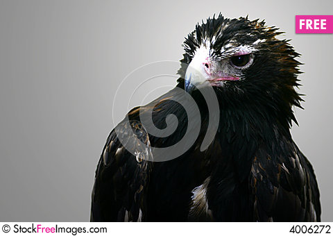 Free Wedge Tail Eagle Stock Photography - 4006272