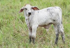 Baby Cow Stock Images
